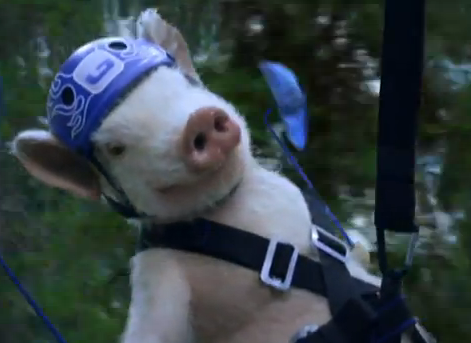 Maxwell-The-Pig-Returns-In-New-Geico-Commercial